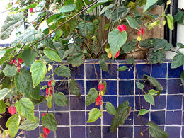 Abutilon with blue Moroccan tiles
